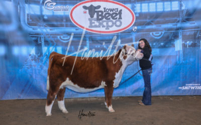 B Polled Herf Champ 19