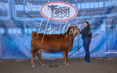 H Red Angus Champ