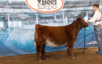 Res Shorthorn Heifer DSC_1123