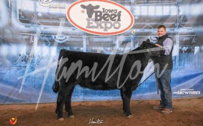 Champion Salers Heifer