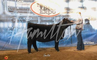 Reserve Champion Foundation Simmental Heifer