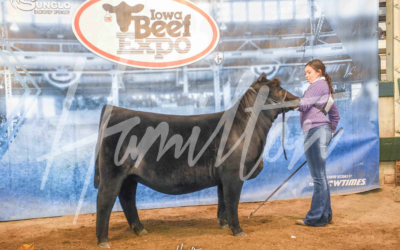Reserve Champion High % Simmental Heifer